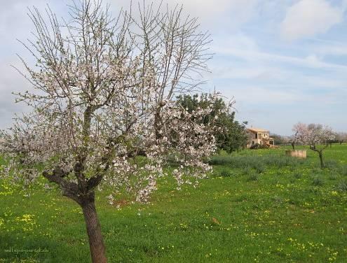 Mandelblüte im Frühling auf der Reise-Insel Mallorca