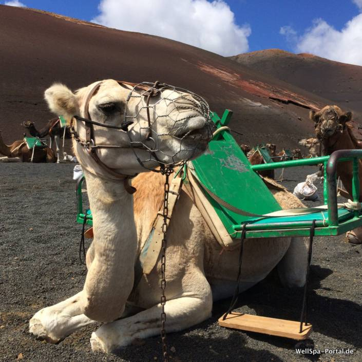 Reisekamel Vulkan Lanzarote