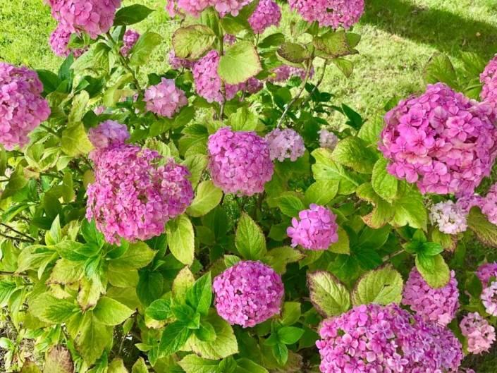 Blumen Hortensien im Parkgarten des Parkhotel Billroth